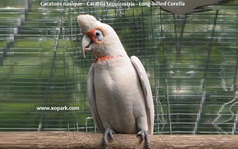 9Cacatoès-nasique—Cacatua-tenuirostris—Long-billed-Corella