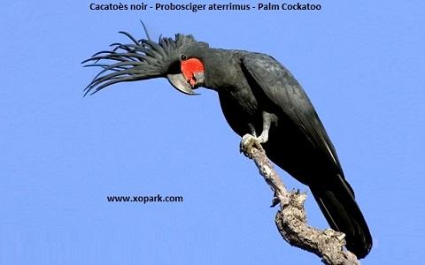 9Cacatoès-noir—Probosciger-aterrimus—Palm-Cockatoo