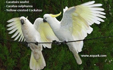 9Cacatoès-soufré—Cacatua-sulphurea—Yellow-crested-Cockatoo