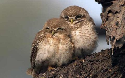 9Chevêche-brame—Athene-brama—Spotted-Owlet
