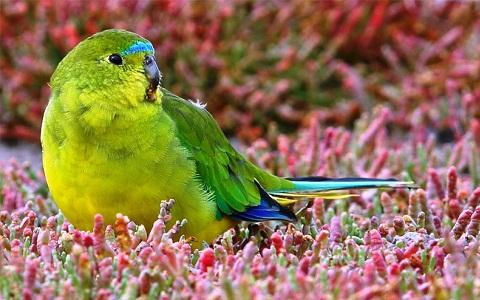 9Perruche-à-ventre-orange—Neophema-chrysogaster—Orange-bellied-Parrot