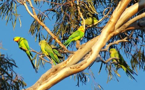 9Perruche-de-Barraband—Polytelis-swainsonii—Superb-Parrot