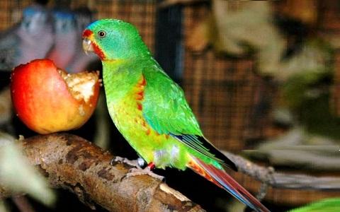 9Perruche-de-Latham—Lathamus-discolor—Swift-Parrot