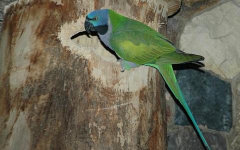 9Perruche-de-derby—Psittacula-derbiana—Lord-Derby_s-Parakeet
