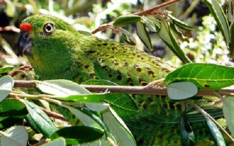 9Perruche-terrestre—Pezoporus-wallicus—Eastern-Ground-Parrot