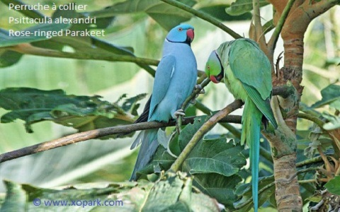 9perruche-à-collier—Psittacula-alexandri—Red-breasted-Parakeet