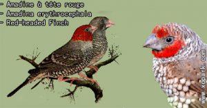 Amadine à tête rouge (Amadina erythrocephala - Red-headed Finch) est une espèce d'oiseaux de la famille des Estrildidés (Estrildidae), ces descriptions, ces photos et ces vidéos sont ici à xopark.com