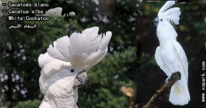 Cacatoès blanc (Cacatua alba - White Cockatoo) est une espèce d'oiseaux, famille des Cacatuidés (Cacatuidae ou Cacatuinae),