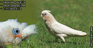 Cacatoès corella (Cacatua sanguinea - Little Corella) est une espèce d'oiseaux de la famille des Cacatuidés (Cacatuidae ou Cacatuinae)