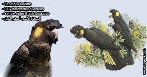 Cacatoès funèbre (Calyptorhynchus funereus - Yellow-tailed Black Cockatoo)