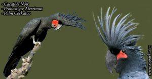 Cacatoès noir (Probosciger aterrimus - Palm Cockatoo)