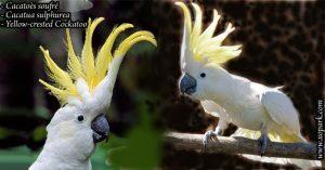 Cacatoès soufré (Cacatua sulphurea - Yellow-crested Cockatoo)