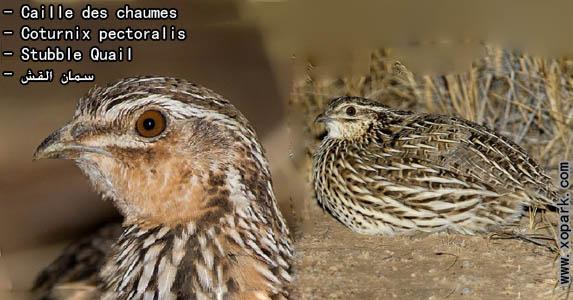Caille des chaumes - Coturnix pectoralis - Stubble Quail