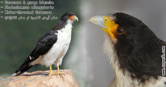 Caracara à gorge blanche---Phalcoboenus albogularis - White-throated Caracara