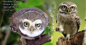 Chevêche brame (Athene brama - Spotted Owlet)