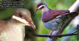 Colombe à joues blanches ( Geotrygon chrysia - Key West Quail-Dove)