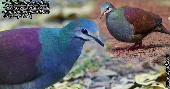 Colombe du Costa Rica (Geotrygon Costaricensis - Buff-frontedQuail-Dove)