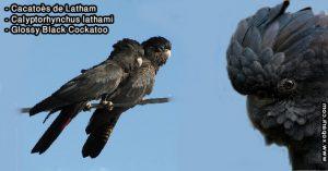 Cacatoès de Latham (Calyptorhynchus lathami - Glossy Black Cockatoo)