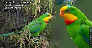 Perruche de Barraband (Polytelis swainsonii - Superb Parrot)