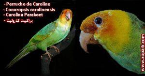Perruche de Caroline - Conuropsis carolinensis - Carolina Parakeet