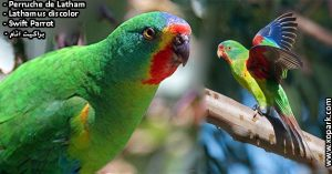 Perruche de Latham (Lathamus discolor - Swift Parrot)