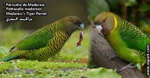 Perruche de Madarasz (Psittacella madaraszi - Madarasz's Tiger Parrot)