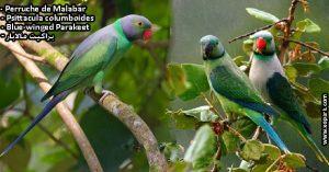 Perruche de Malabar (Psittacula columboides - Blue-winged Parakeet)