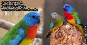 Perruche splendide (Neophema splendida - Scarlet-chested Parrot)