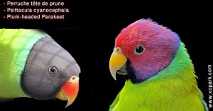 Perruche tête de prune (Psittacula cyanocephala - Plum-headed Parakeet)