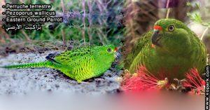 Perruche terrestre (Pezoporus wallicus - Eastern Ground Parrot)
