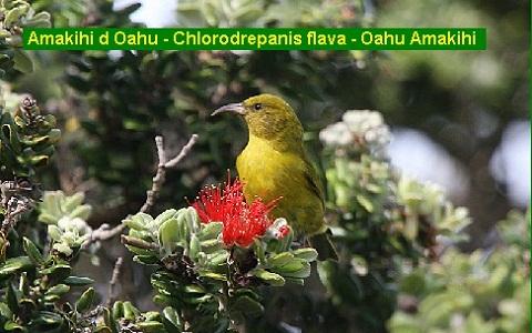 xopark3Amakihi-d-Oahu—Chlorodrepanis-flava—Oahu-Amakihi