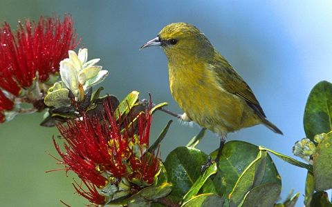 Amakihi, Hawaiian Honeycreeper