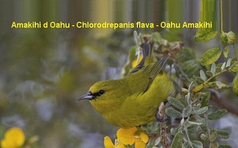 xopark5Amakihi-d-Oahu—Chlorodrepanis-flava—Oahu-Amakihi