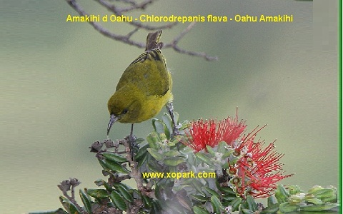 xopark6Amakihi-d-Oahu—Chlorodrepanis-flava—Oahu-Amakihi