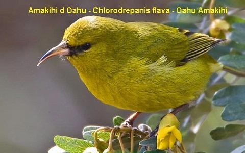 xopark7Amakihi-d-Oahu—Chlorodrepanis-flava—Oahu-Amakihi
