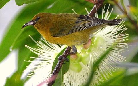 xopark9Amakihi-d-Oahu—Chlorodrepanis-flava—Oahu-Amakihi
