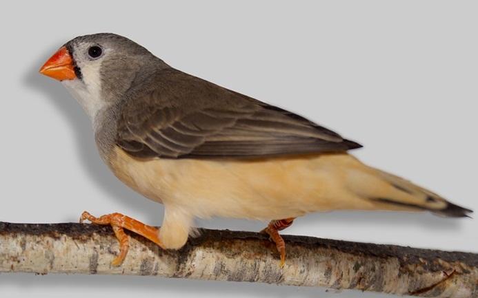 10Diamant-Mandarin—Taeniopygia-guttata—Zébra-Finch