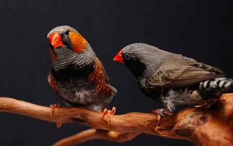 11Diamant-Mandarin—Taeniopygia-guttata—Zébra-Finch