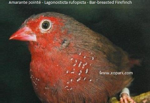 1Amarante-pointé—Lagonosticta-rufopicta—Bar-breasted-Firefinch