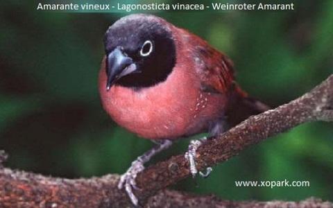1Amarante-vineux—Lagonosticta-vinacea—Weinroter-Amarant