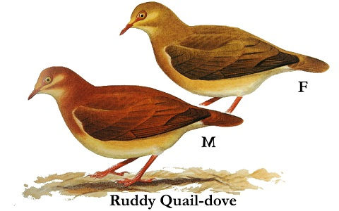 1Colombe-rouviolette—Geotrygon-montana-Ruddy-Quail-Dove