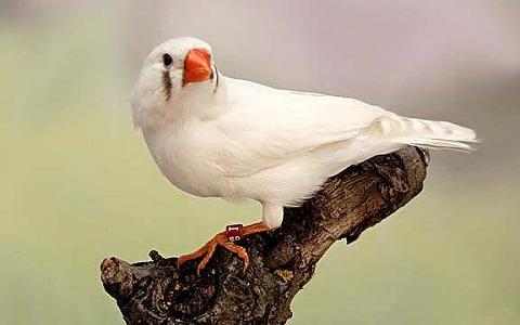 1Diamant-Mandarin—Taeniopygia-guttata—Zébra-Finch