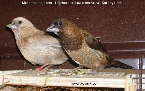 1Moineau-de-japon—Lonchura-striata-domestica—Society-finch