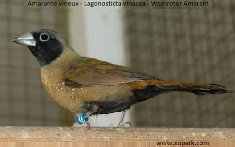 2Amarante-vineux—Lagonosticta-vinacea—Weinroter-Amarant