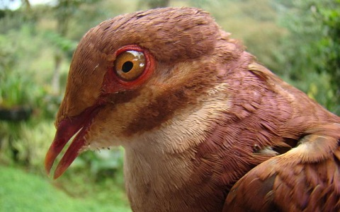2Colombe-rouviolette—Geotrygon-montana-Ruddy-Quail-Dove