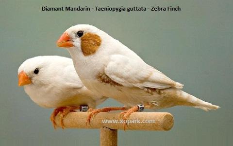 2Diamant-Mandarin—Taeniopygia-guttata—Zébra-Finch