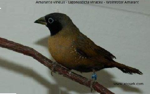3Amarante-vineux—Lagonosticta-vinacea—Weinroter-Amarant