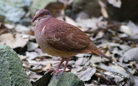 3Colombe-rouviolette—Geotrygon-montana-Ruddy-Quail-Dove