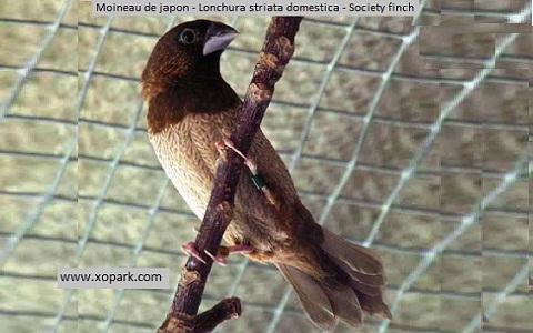 3Moineau-de-japon—Lonchura-striata-domestica—Society-finch