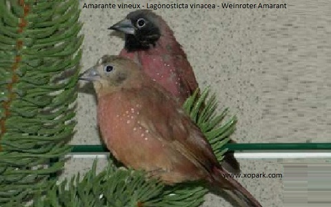 4Amarante-vineux—Lagonosticta-vinacea—Weinroter-Amarant